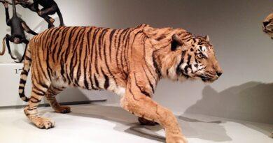Tigre empalhado no museu de zoologia da USP no Ipiranga