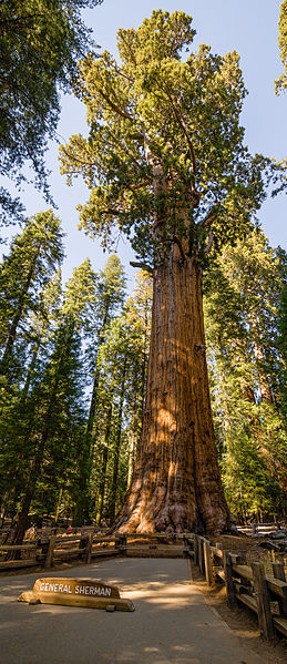 General Sherman - Sequoia Gigante da Califórnia