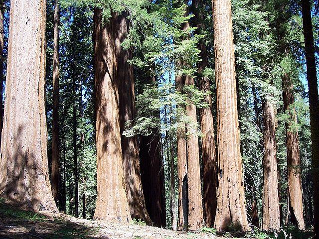 Floresta de Sequoias Gigantes