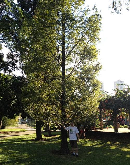 Sequoia sempervirens no Jardim Botânico de São Paulo - Foto de Fábio dos Reis