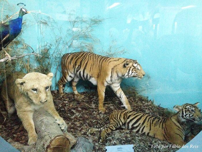 Felinos empalhados no museu zoológico de montevidéu