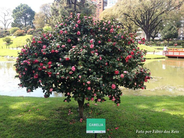 Camélia em Flor no Jardim Japonês