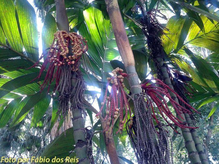 Palmeiras em Flor no Parque Celso Daniel