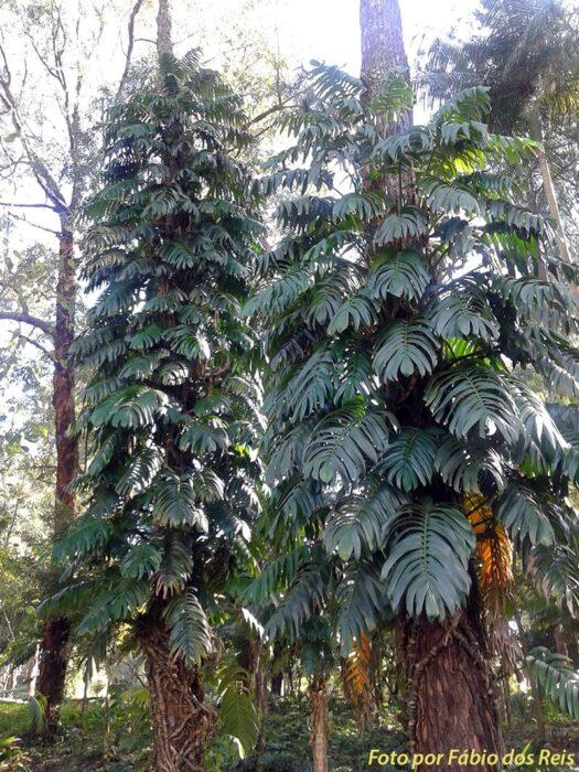 Raphidophoras no parque Celso Daniel