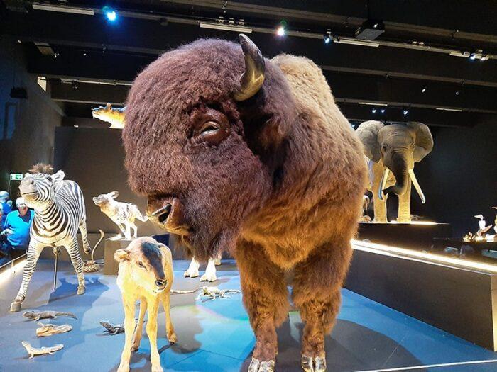 Bisão. Há inúmeros animais representados no museu, desde peixas até mamíferos de grande porte.