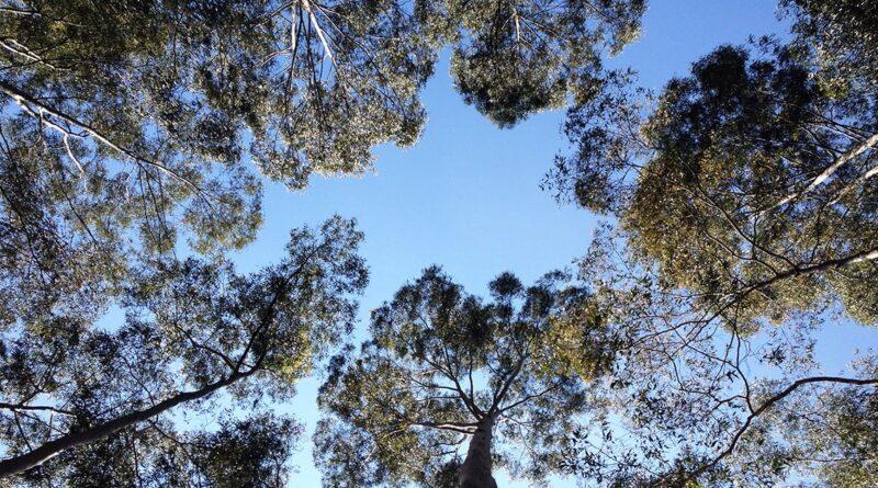 Eucaliptos no Parque de Vila Prudente