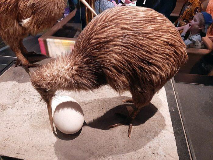 Um Kiwi com seu ovo.