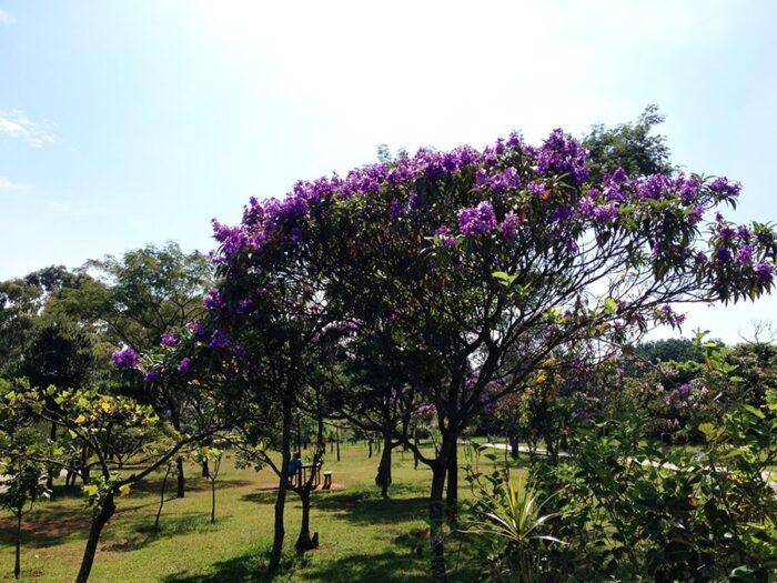 Manacá da Serra no Parque de Vila Prudente - Tibouchina mutabilis