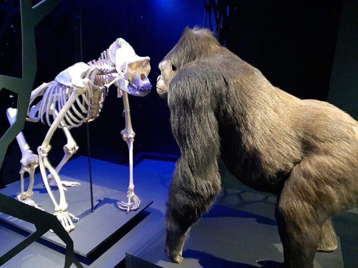"""Gorila na obra """"Vida e Morte"""""""