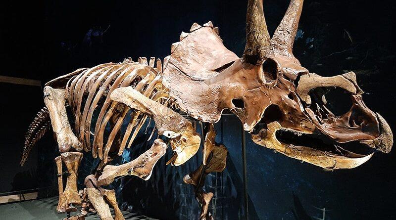 Triceratops no museu Naturalis em Leiden, Holanda