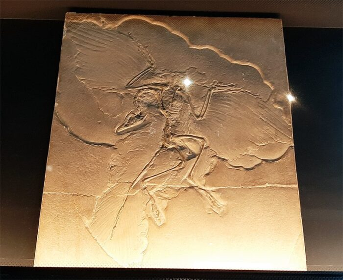 Fóssil de Archaeopteryx lithographica