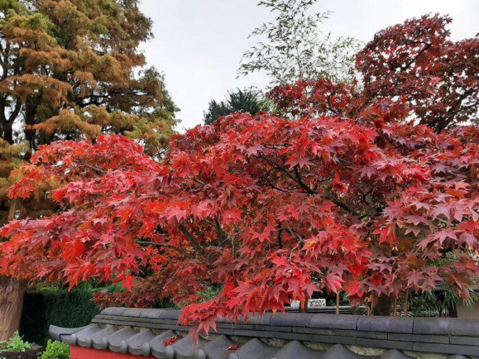 Acer no Jardim Japonês do Hortus Botanicus Leiden