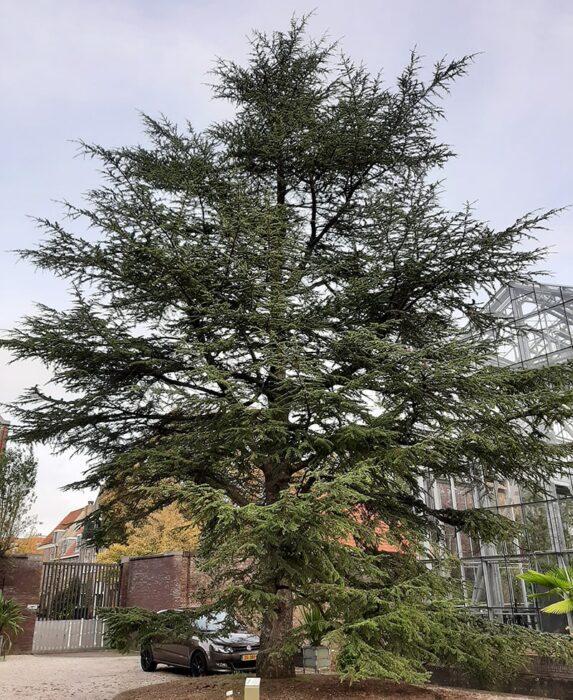 Cedro do Líbano no Hortus Botanicus de Leiden