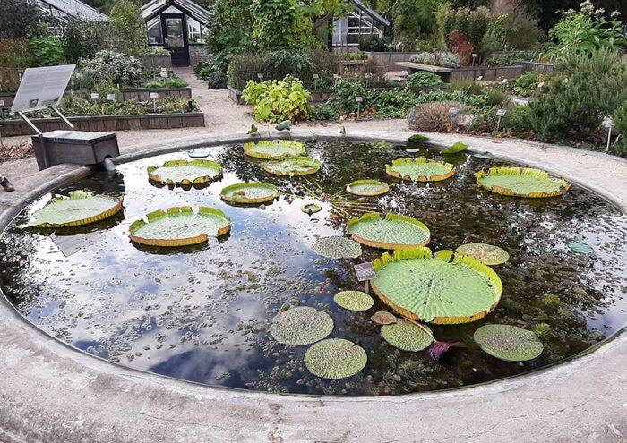 Vitória-régia nos jardins externos do Hortus