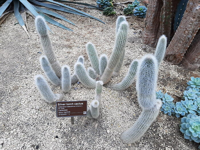 Cacto Cleistocactus hyalcanthus  no Hortus Botanicus Amsterdam