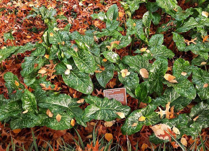Mais aráceas: Arum italicum no Hortus Amsterdam