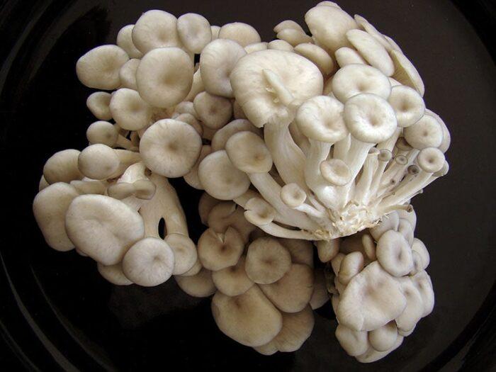 O Shimeji é um cogumelo muito apreciado na alimentação humana