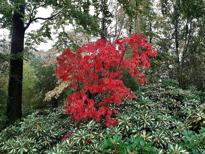 Lindo exemplar de Acer vermelho no Jardim Japonês