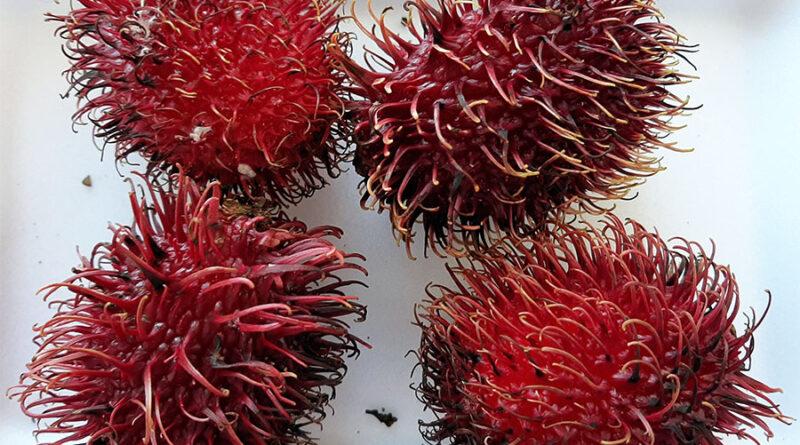 Rambutan ou Lichia da Indonésia