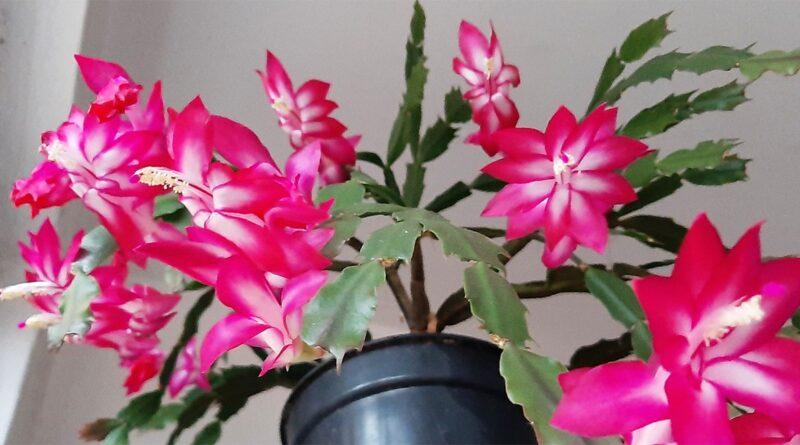 Como cultivar a flor de maio